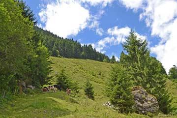 Kälbchen weiden im Sommer an der Hütte